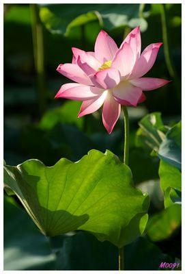 Sen mùa hạ của tác giả Nguyen Van Khanh.